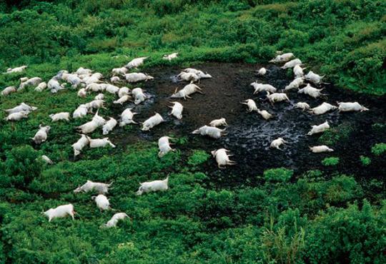Berghellingen nabij het Nyosmeer bezaaid met dode koeien, augustus 1986.